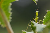 Young praying mantis waiting on a leaf. Mantis religiosa. Shot in Basque Country, Spain.