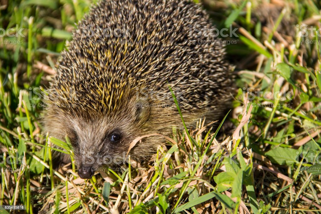 Young prickly hedgehog in green grass stock photo