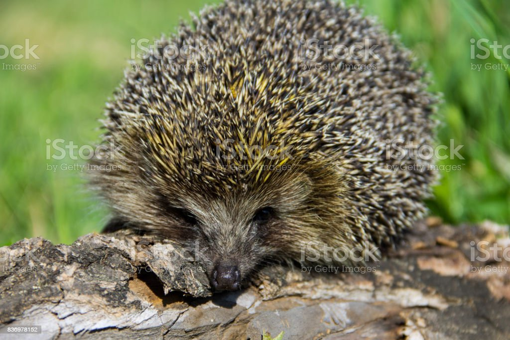 Young prickly hedgehog on the log stock photo