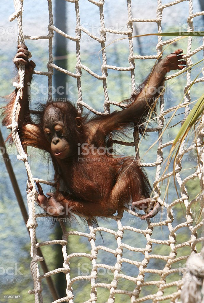 Young Primate stock photo