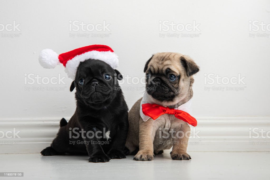 Young Pug Puppies In Christmas Outfits Stock Photo Download Image Now Istock