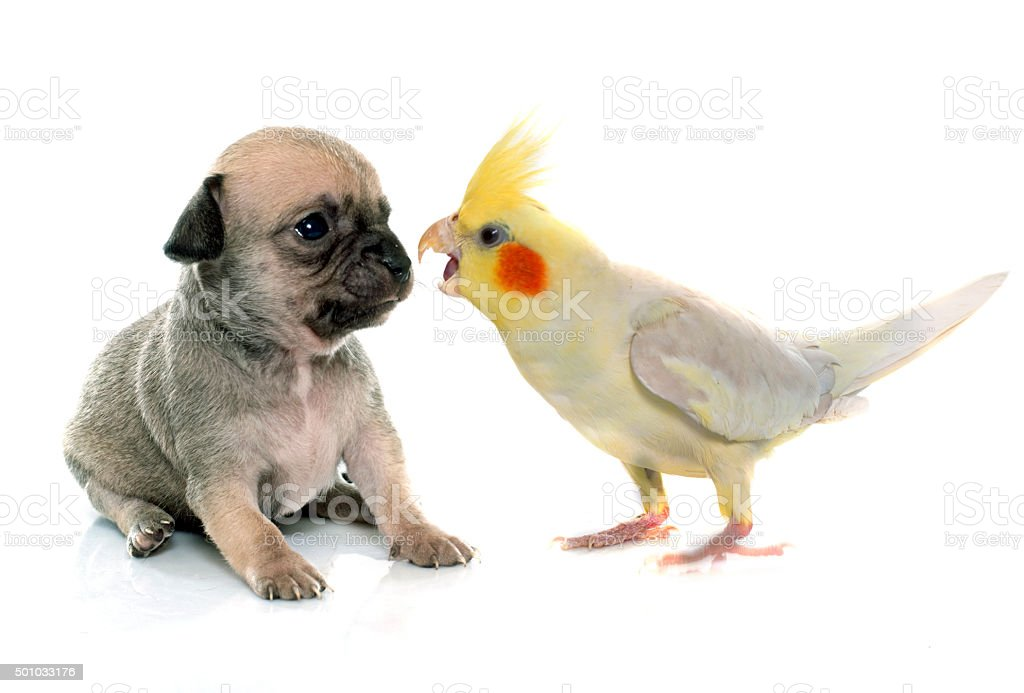 young puppy chihuahua and cockatiel stock photo