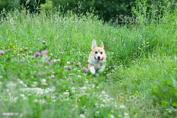 Young puppy dog breed welsh corgi pembroke runs happily picture id583806742?b=1&k=6&m=583806742&s=612x612&h=92kuds1u6lkeq3 1k5oxttlbwpkupzm0b3ixmlj res=
