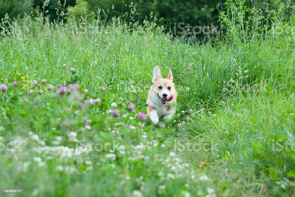 Young puppy dog breed Welsh Corgi Pembroke runs happily stock photo