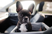 A young puppy travels in a car