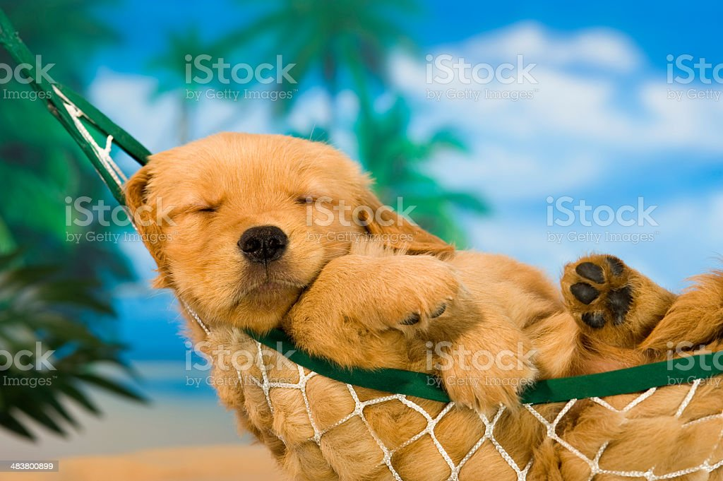 Young puppy in hammock with tropical background stock photo