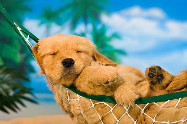 cucciolo cagnolino in amaca con sfondo tropicale - amaca foto e immagini stock