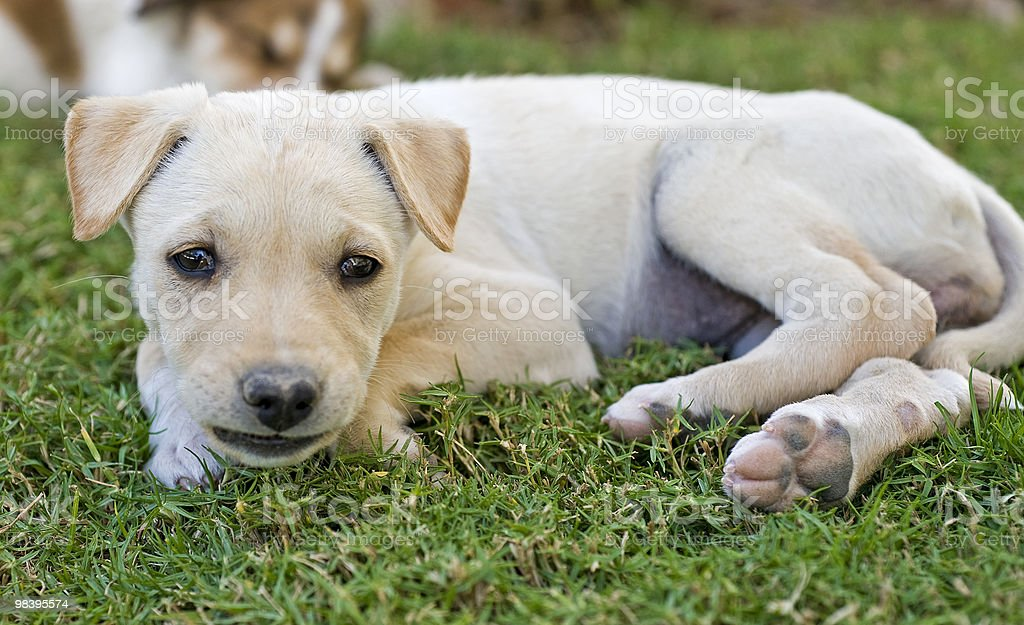Young puppy laying in the garden royalty-free stock photo