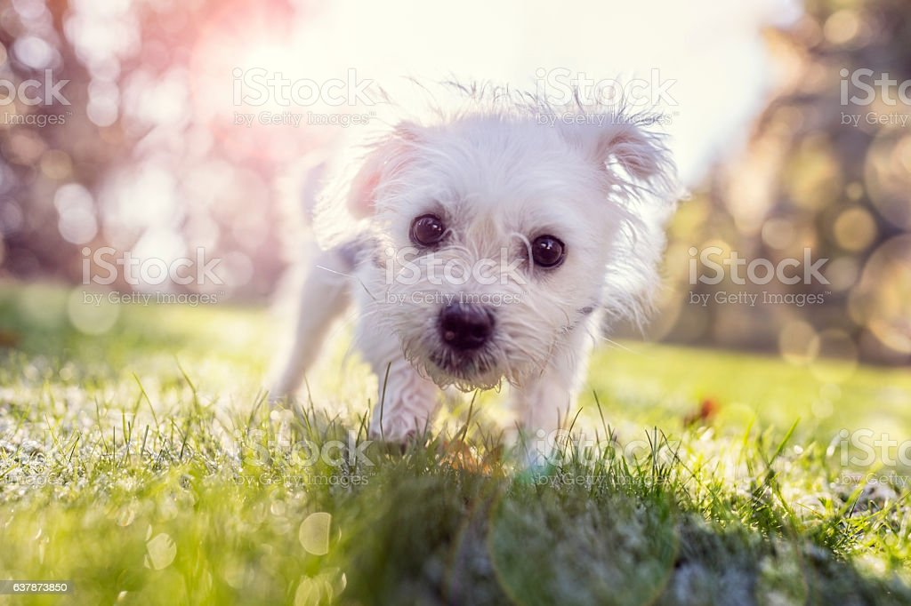 Young puppy outside for a walk in the park Young puppy outside walking in the park on a sunny day Activity Stock Photo