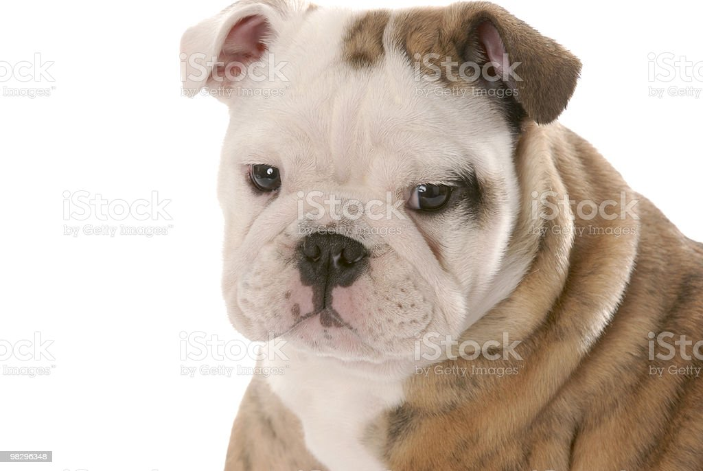 young puppy royalty-free stock photo
