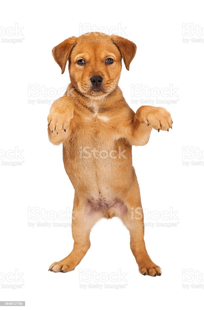 Young Puppy Standing Up stock photo