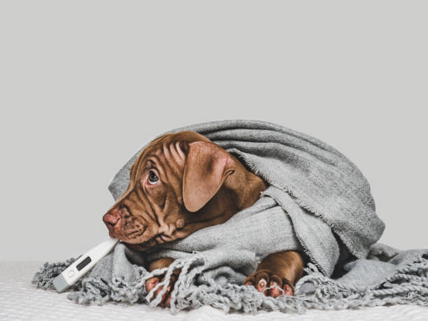 Young puppy wrapped in a gray scarf picture id1167513420?b=1&k=6&m=1167513420&s=612x612&w=0&h=wbz fyboexhxyjehbufudwl0mmq8 dhankd94gsn08g=