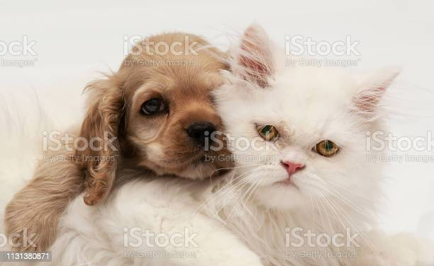 Young purebred cocker spaniel and white persian cats on white picture id1131380871?b=1&k=6&m=1131380871&s=612x612&h=by9 98urvjsomb3px omv54bbi0kpx6pcotpp 2htse=