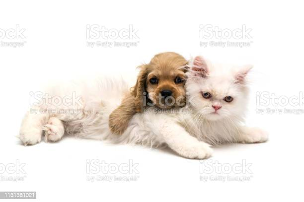 Young purebred cocker spaniel and white persian cats on white picture id1131381021?b=1&k=6&m=1131381021&s=612x612&h=csvdxfysidbag0kj2wsj9baru40aztnifuggnswax48=