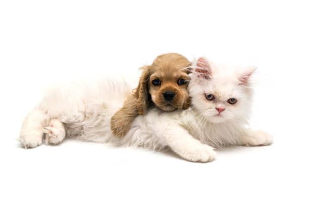 Young purebred cocker spaniel and white persian cats on white picture id1131381021?b=1&k=6&m=1131381021&s=612x612&w=0&h=p befjgw2di04e3cy4mr1kgqrcau2tav59qsfsj7thm=
