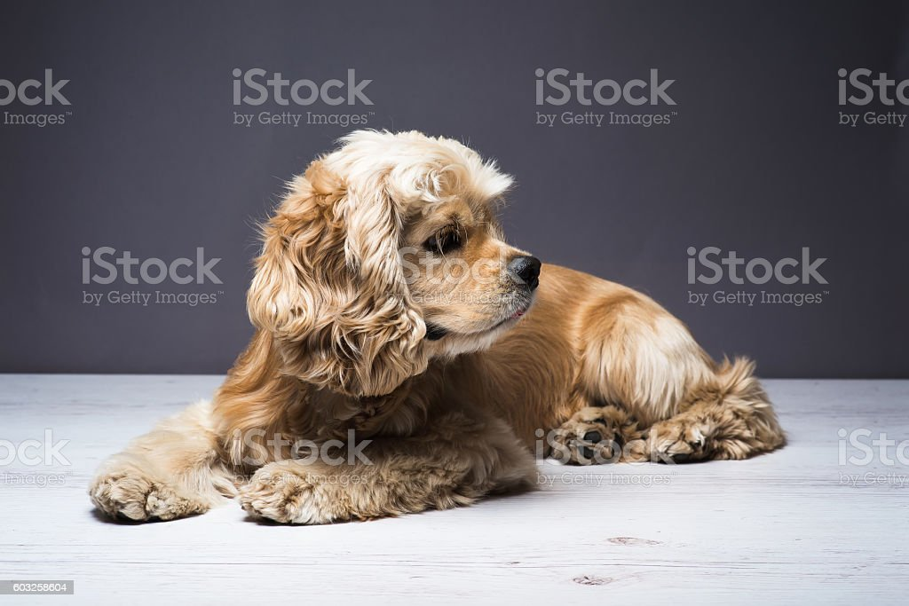 Young purebred Cocker Spaniel on wooden floor stock photo