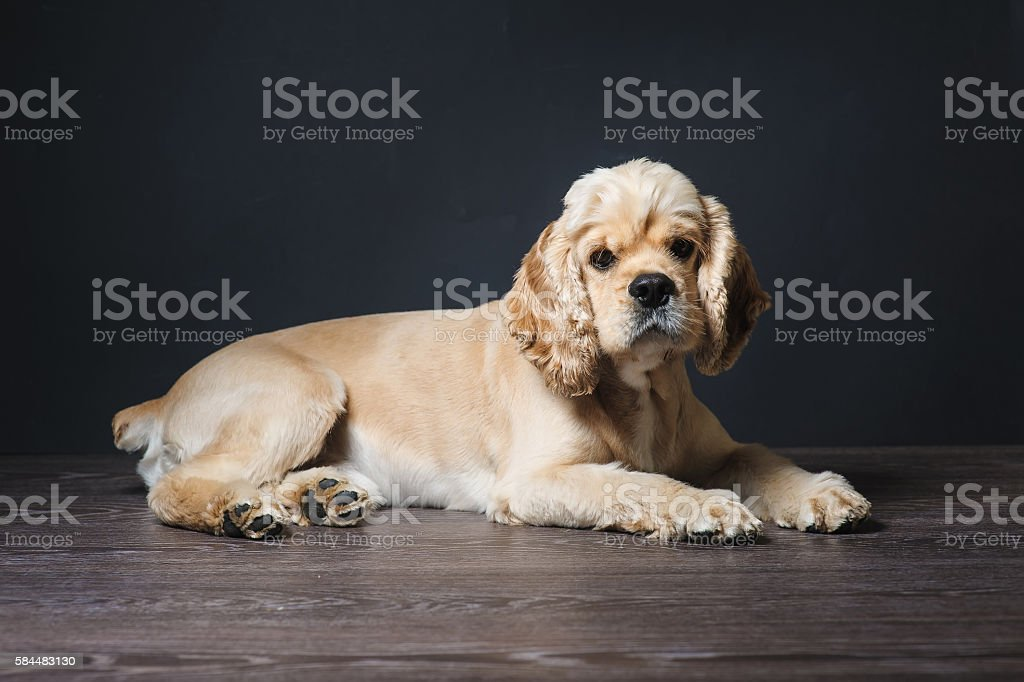 Young purebred Cocker Spaniel. stock photo