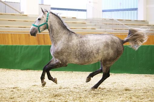Young purebred lipizzan breed horse canter alone
