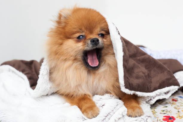 Young purebred Pomeranian stock photo