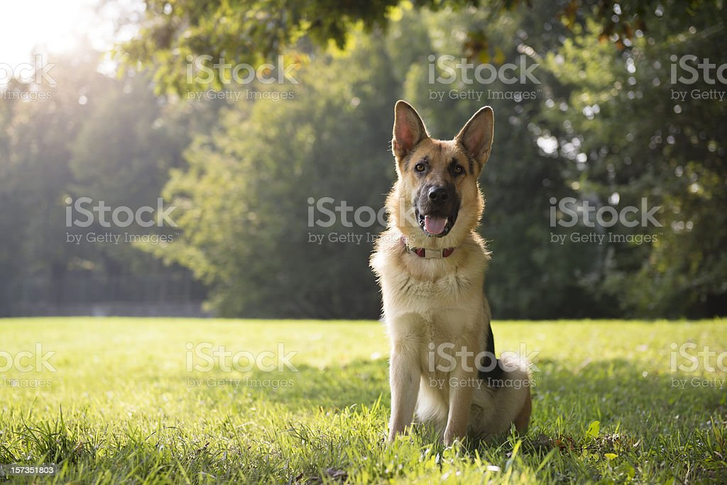 young purebreed alsatian dog in park stock photo