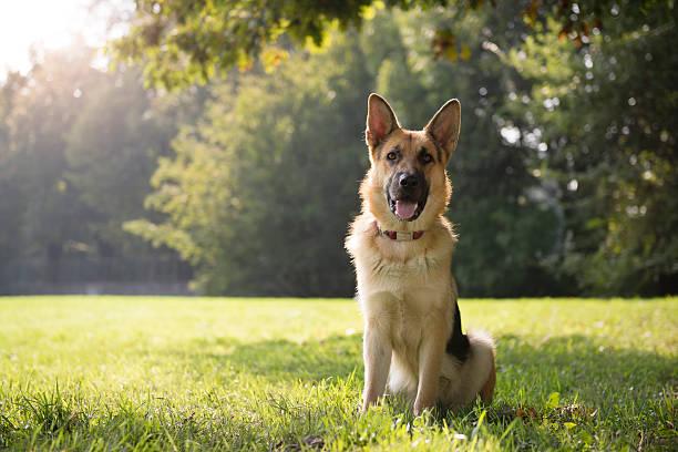 Jeune purebreed alsacienne chien dans le parc - Photo