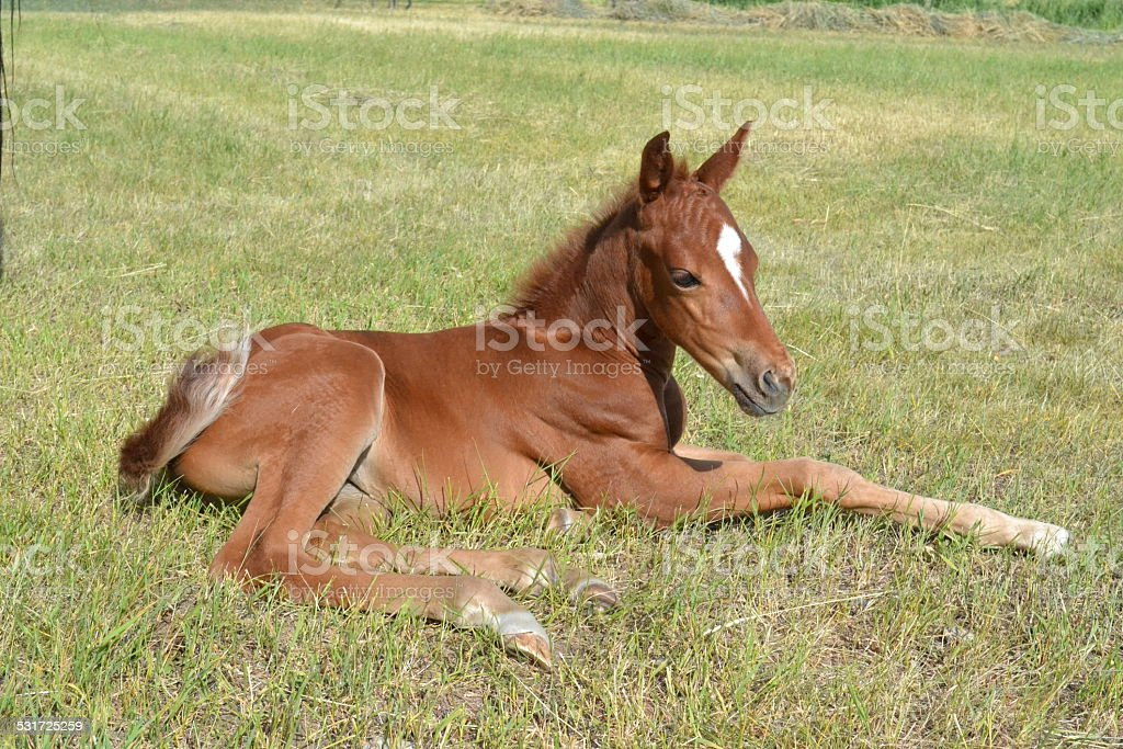 Young Quarter Horse Filly stock photo