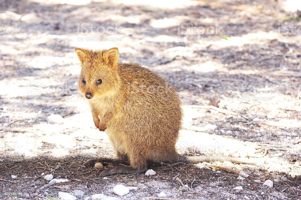 Young Quokka sitting in the Shade, Rottnest Island, Australia stock photo