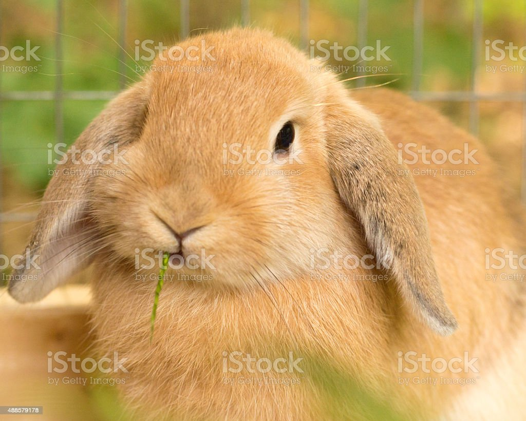 Young Rabbit Enjoying a Piece of Grass in Hutch stock photo