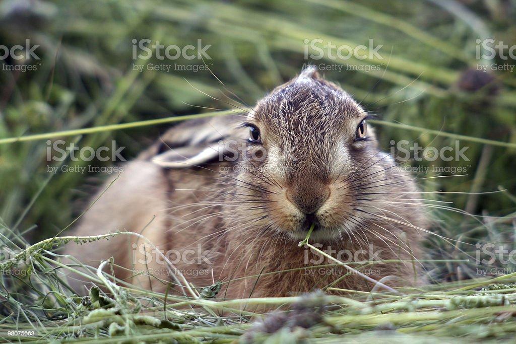 젊은 토끼 in the grass royalty-free 스톡 사진