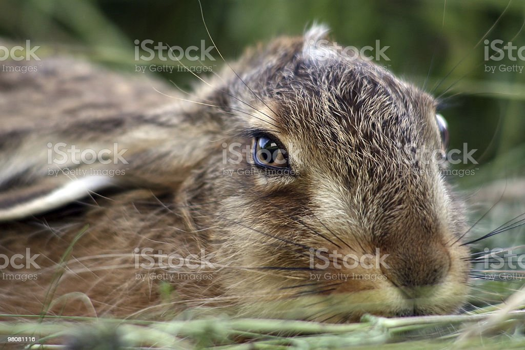 Young rabbit in the grass royalty-free stock photo