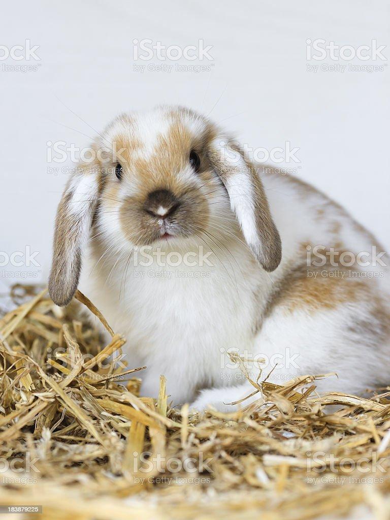 Young rabbit looking at camera royalty-free stock photo
