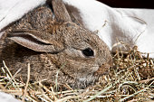 Young rabbit in straw