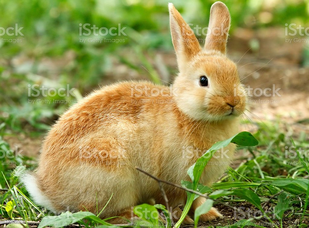 Young Rabbit royalty-free stock photo