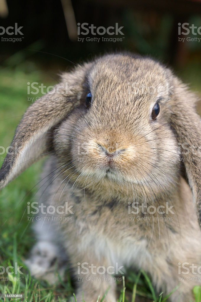 Young rabbit with ears falling down royalty-free stock photo
