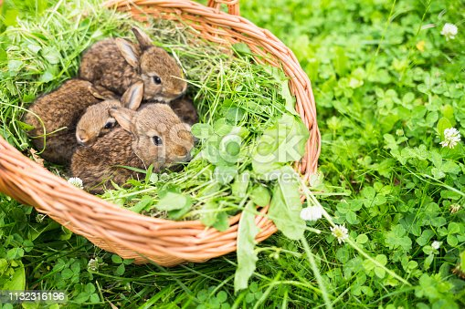 Young rabbits in a basket on a green grass.