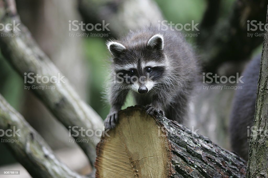 young raccoon climbing stock photo
