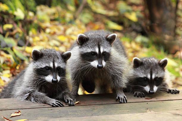 Jeune des ratons laveurs - Photo