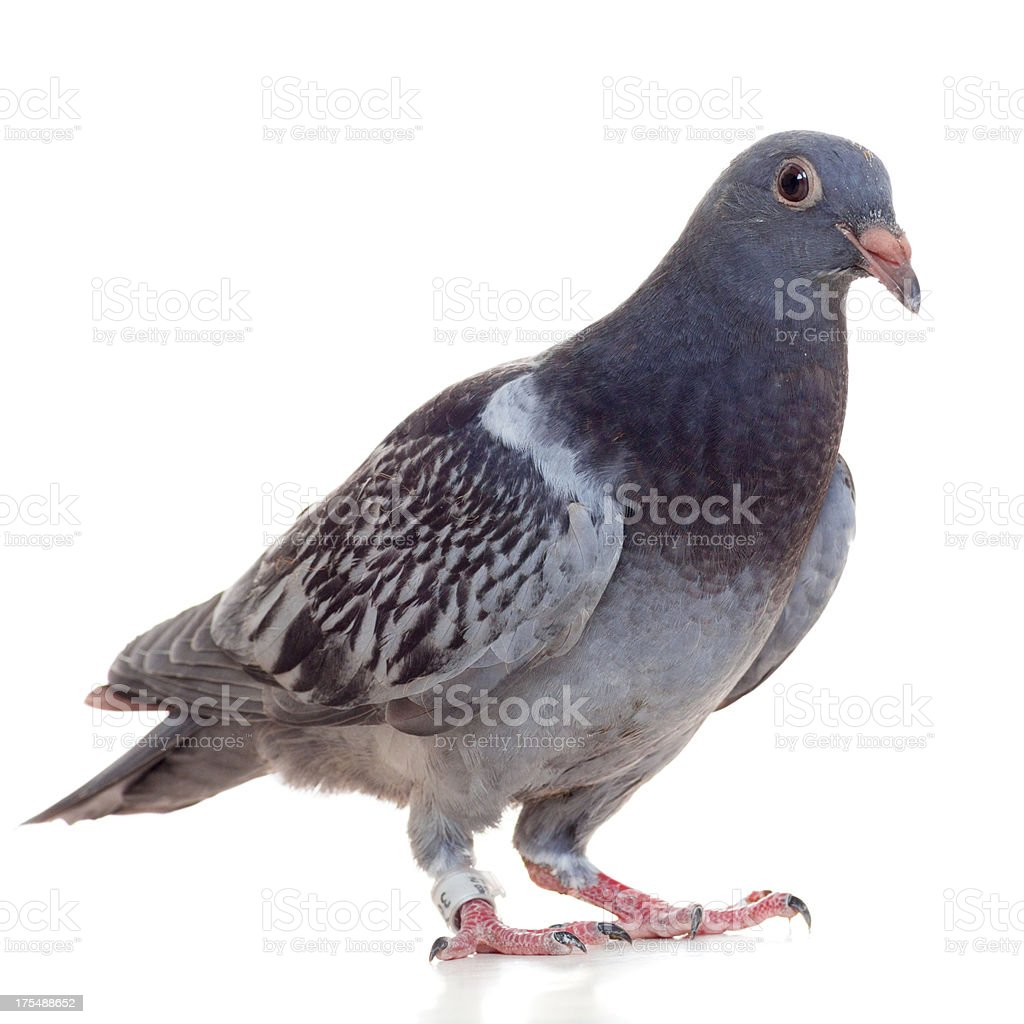 Young Racing Pigeon isolated on white stock photo