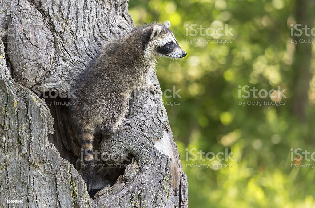 Young Racoon stock photo