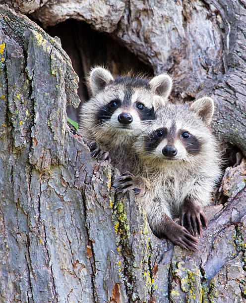young racoons - raccoon stock photos and pictures