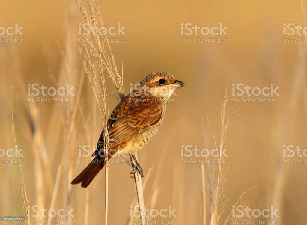 A young red backed shrike sits on thesmall  branch in soft morning light. stock photo
