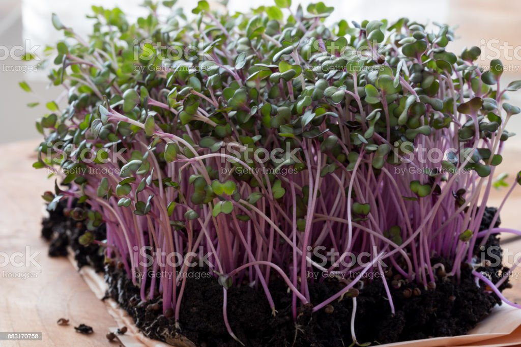 Young red cabbage microgreens stock photo