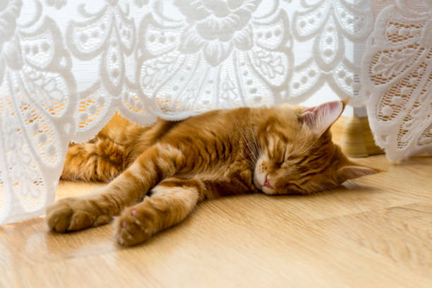 Young red cat of maine coon breed sleeping on the wooden floor picture id1072232876?b=1&k=6&m=1072232876&s=612x612&w=0&h=kbmg9yjehvvztfsp9y1hj49zknbmm4bc5cux9acbzge=