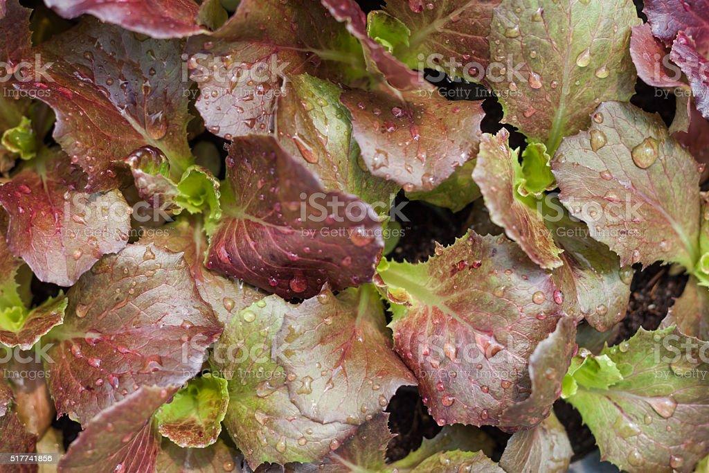 Corail salade Jeune plante dans la ferme biologique - Photo
