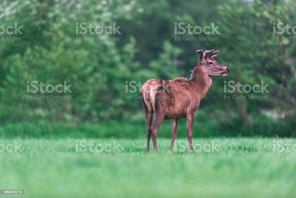 Young red deer buck in countryside during spring. royalty-free stock photo