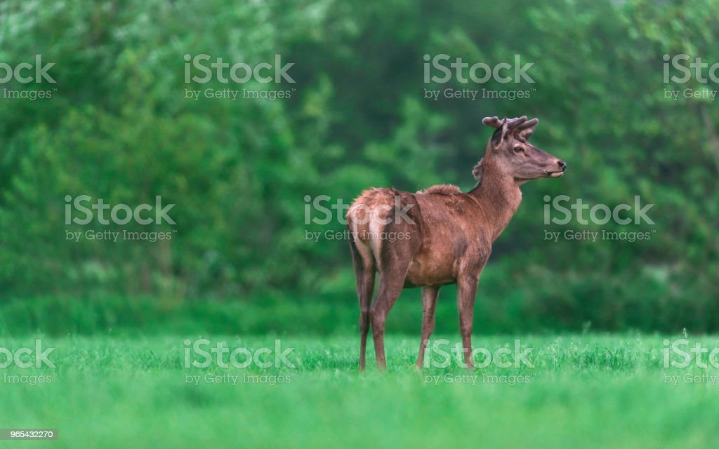 Young red deer buck in countryside during spring. zbiór zdjęć royalty-free