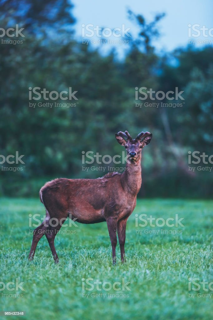 Young red deer buck in spring landscape at dusk. zbiór zdjęć royalty-free