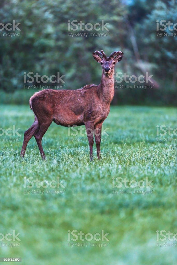 年輕的紅鹿巴克在春季的風景黃昏。 - 免版稅動物圖庫照片