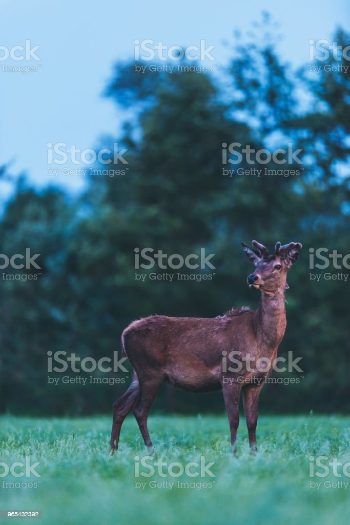 Young red deer buck in spring landscape at dusk. zbiór zdjęć royalty-free