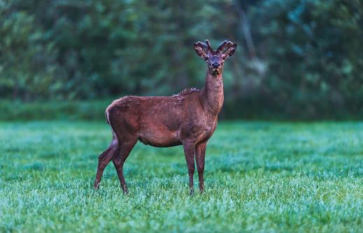 年輕的紅鹿巴克在春季的風景黃昏 照片檔及更多 動物 照片